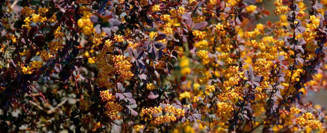 Berberine shrub | Gundry