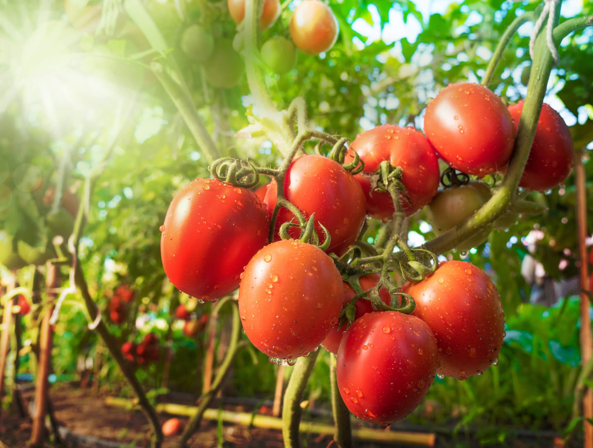 Smart Plants: (Another Reason) Why You Shouldn't Eat Tomatoes