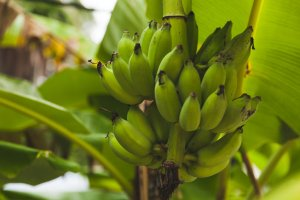 are bananas going extinct | Gundry MD