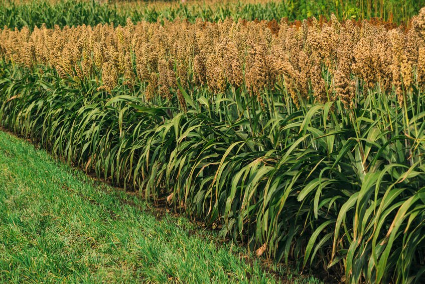 What is Sorghum? The Gundry Approved Gluten-Free Whole Grain