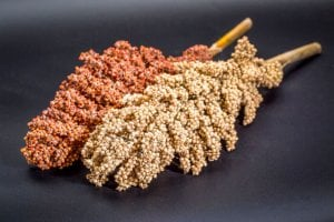 types of sorghum | Gundry MD
