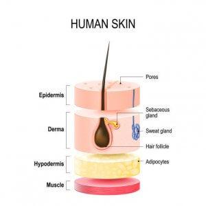skin cross section | Gundry MD