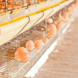 chicken eggs | Gundry MD